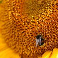солнечный цветок :: Александр Солуянов