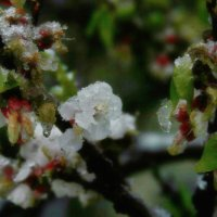 Цветы абрикосы в снегу :: Любовь Потравных