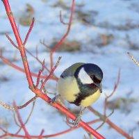 птица синица :: Miko Baltiyskiy