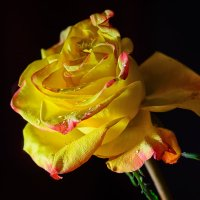 про розу2 :: Дмитрий Брошко