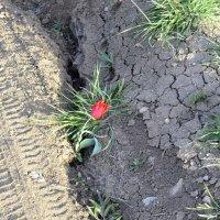 Тюльпанчик в расщелине :: Виктор Шандыбин