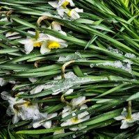 сломленные зимой,среди весны :: Роза Бара