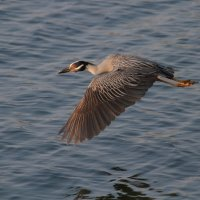 Yellow - Crowned Night - Heron :: Naum