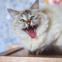 Как зевают кошки :: Каролина Савельева