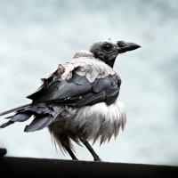 Белая ворона. :: Александр Яковлев