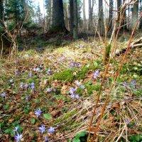 Žalioji giria / Lithuanian forest :: silvestras gaiziunas gaiziunas