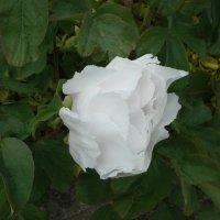 Белый пион :: Natalia Harries