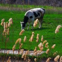 На лугу паслися ко..... Козы..?) Нет -коровы..) :: Любовь К.