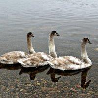 Танец маленьких лебедей :: Marina Pavlova