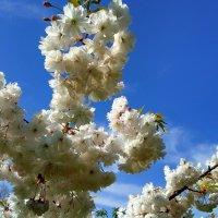 Сакура цветет :: Антонина Владимировна