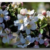 Яблони в цвету- какое чудо... :: Ольга Голубева