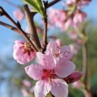Персиковый цвет :: Татьяна Пальчикова