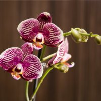 Орхидея-полосатик :: Элен Шендо