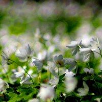 лёгкое белое покрывало леса :: Александр Прокудин