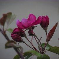 зацвела райская яблонька :: Марина Ринкашикитока