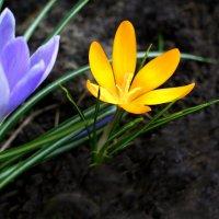 Первоцветы крокусы :: Дубовцев Евгений