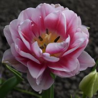 Мои тюльпаны :: Наталья Петракова