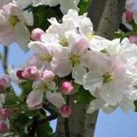 Цветущих яблонь лепестки... :: Татьяна Смоляниченко