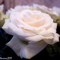 Роза :: Анна Окунева