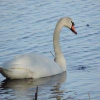 Лебедь :: Taina