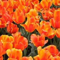 Тюльпаны в Туапсе :: Иван Владимирович Карташов