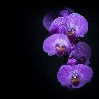 Орхидея :: Roamer Pon