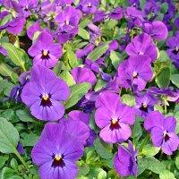 Viola cornuta / Фиалка рогатая :: laana laadas