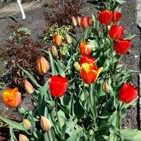 Тюльпаны... :: Сергей Петров