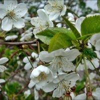 Пышное цветение вишни :: Нина Корешкова