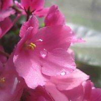 Розовая нежность :: Елена Семигина