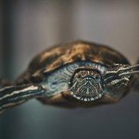 Красноухая черепаха :: Ю Д