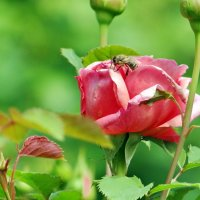 Вдыхая розы аромат... :: Алексей Цветков