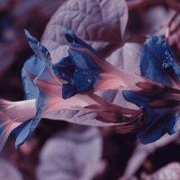 необычная петуния :: Роза Бара