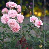 городские цветы-розы :: Олег Лукьянов