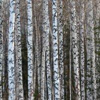 лес :: Андрей + Ирина Степановы