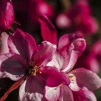 райская яблоня :: Марина
