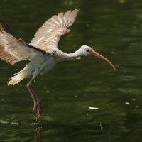 white ibis :: Naum