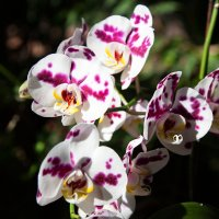 Орхидея :: Игорь Гарагуля
