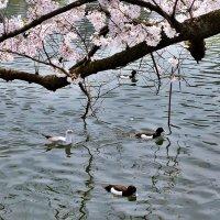 Токио Парк Уэно :: Swetlana V