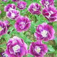 Крым. Никитский ботанический сад.Бал тюльпанов продолжается :: татьяна