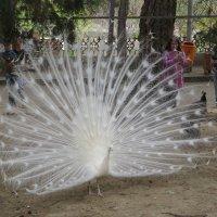 Царственной птицей зовётся павлин :: Наталья (D.Nat@lia) Джикидзе (Берёзина)