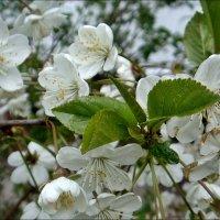 Цветение вишни :: Нина Корешкова