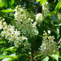 Черёмухи весеннее цветение...) :: Любовь К.