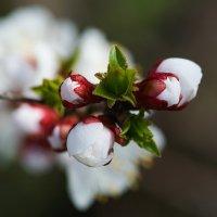 Цветет абрикос.... :: Анатолий __