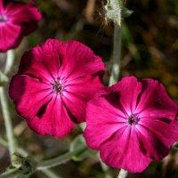 цветы :: Ольга Барчан