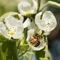 Пчела :: Владимир Переклицкий
