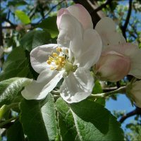 Бело-розовое чудо :: Нина Корешкова