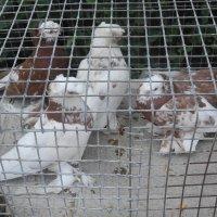 Выставка голубей на дне города. 2012 :: Олег Афанасьевич Сергеев