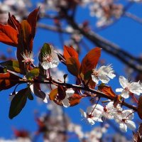цветение садов 5 :: Александр Прокудин