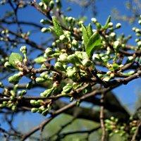 Скоро расцветет вишня :: Елена Семигина